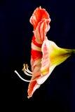 De bloem van de lelie Royalty-vrije Stock Foto's