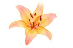De bloem van de lelie op wit stock foto's