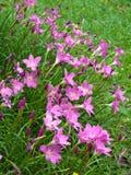 De bloem van de Lelie van de fee Stock Afbeeldingen