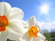 De bloem van de lente - narcissen Stock Afbeeldingen