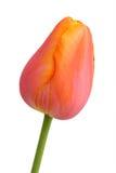 De bloem van de lente - oranje tulp Royalty-vrije Stock Afbeelding