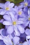 De bloem van de lente - pennywort Royalty-vrije Stock Afbeeldingen