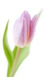 De bloem van de Lente van de tulp tegen witte achtergrond Stock Afbeeldingen