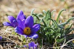 De bloem van de lentepasque lat Pulsatilla op een weide Stock Foto's