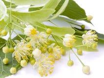 De bloem van de linde Royalty-vrije Stock Fotografie