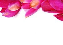 De bloem van de magnolia stock fotografie