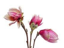 De bloem van de magnolia Stock Foto's