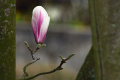 De bloem van de magnolia Stock Foto