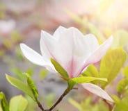 De bloem van de magnolia in de lente royalty-vrije stock foto's