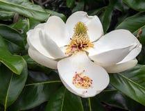 De Bloem van de magnolia in Volledige Bloei Stock Foto's