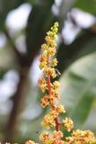 De bloem van de mangoboom Stock Afbeeldingen