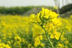De bloem van de mosterd Stock Foto
