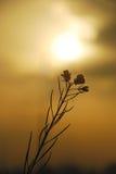 De bloem van de mosterd Royalty-vrije Stock Afbeeldingen