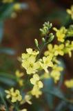 De bloem van de mosterd royalty-vrije stock foto