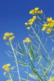 De Bloem van de mosterd stock fotografie