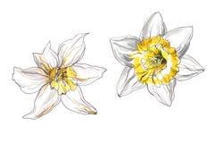 De bloem van de narcissenlente Royalty-vrije Stock Foto's