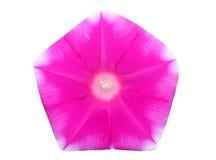 De bloem van de ochtendglorie Royalty-vrije Stock Foto