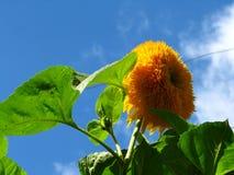 De bloem van de Oekraïne - Zonnebloem Royalty-vrije Stock Afbeelding