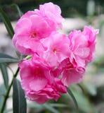 De bloem van de oleander Stock Afbeeldingen