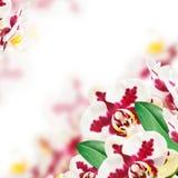 De bloem van de orchidee Royalty-vrije Stock Fotografie