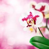 De bloem van de orchidee Royalty-vrije Stock Afbeeldingen
