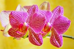 De bloem van de orchidee Royalty-vrije Stock Foto's