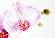 De bloem van de orchidee die op wit wordt geïsoleerdl Stock Foto