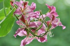 De bloem van de Orchidee van Hong Kong royalty-vrije stock foto