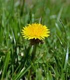 De bloem van de paardebloem Royalty-vrije Stock Foto