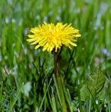 De bloem van de paardebloem Royalty-vrije Stock Afbeelding