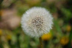 De bloem van de paardebloem Stock Afbeelding