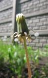 De bloem van de paardebloem Stock Foto