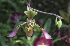 De Bloem van de pantoffelorchidee Stock Afbeeldingen