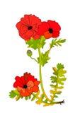 De bloem van de papaver royalty-vrije illustratie