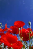 De bloem van de papaver stock afbeeldingen