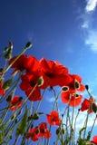 De bloem van de papaver Royalty-vrije Stock Foto's