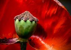 De bloem van de papaver. Stock Fotografie