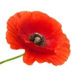 De bloem van de papaver Royalty-vrije Stock Foto