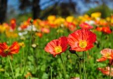 De bloem van de papaver Stock Foto