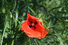 De bloem van de papaver Stock Afbeelding