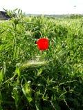 De bloem van de papaver Royalty-vrije Stock Afbeeldingen