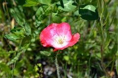 De bloem van de papaver in bloei Stock Fotografie