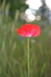 De bloem van de papaver in bloei Royalty-vrije Stock Fotografie