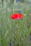 De bloem van de papaver in bloei Stock Afbeeldingen
