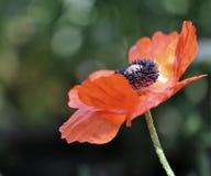 De bloem van de papaver op een groene achtergrond Royalty-vrije Stock Foto
