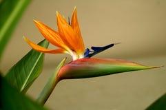 De bloem van de papegaai Stock Afbeeldingen