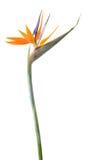 De bloem van de paradijsvogel Stock Afbeelding
