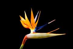 De Bloem van de paradijsvogel Stock Foto's