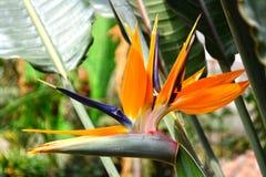 De bloem van de paradijsvogel Stock Foto