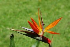 De bloem van de paradijsvogel, Reginae Strelitzia Royalty-vrije Stock Foto